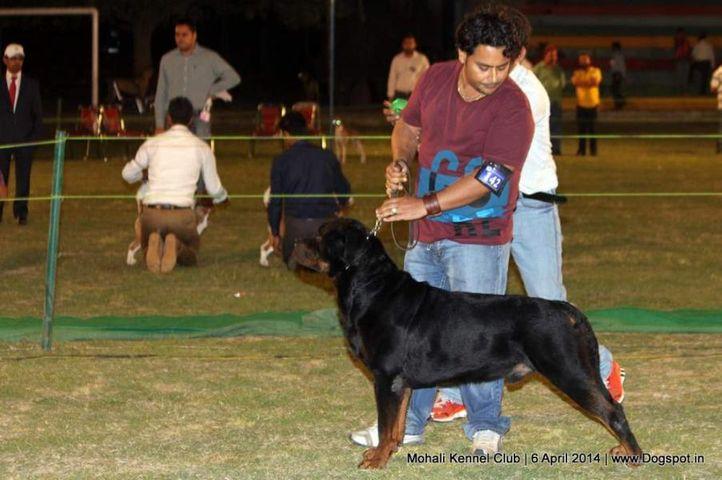 ex-142,rottweiler,sw-122,, UGO VON HAUS ENGEL, Rottweiler, DogSpot.in