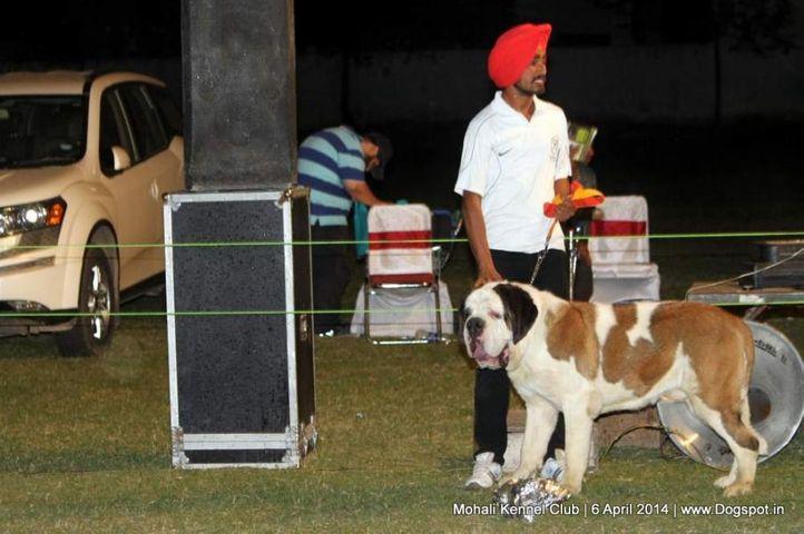saint bernard,st bernard,sw-122,, Mohali Kennel Club, DogSpot.in
