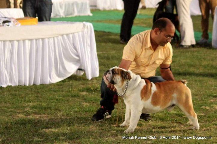bull dog,english bull dog,ex-27,sw-122,, FREEDO, Bull Dog, DogSpot.in