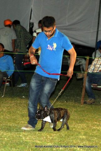ex-184,french bull dog,sw-122,, Mohali Kennel Club, DogSpot.in