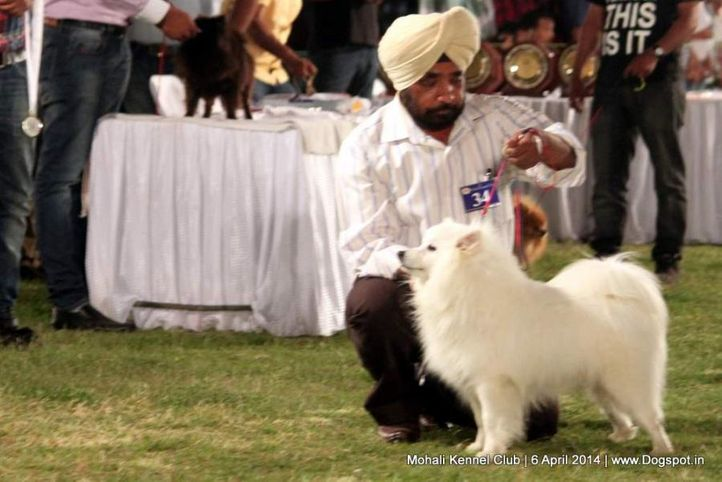 ex-34,indian spitz,sw-122,, WHITER, Greater Indian Spitz, DogSpot.in