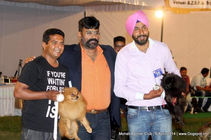 indian spitz,sw-122,, Mohali Kennel Club, DogSpot.in