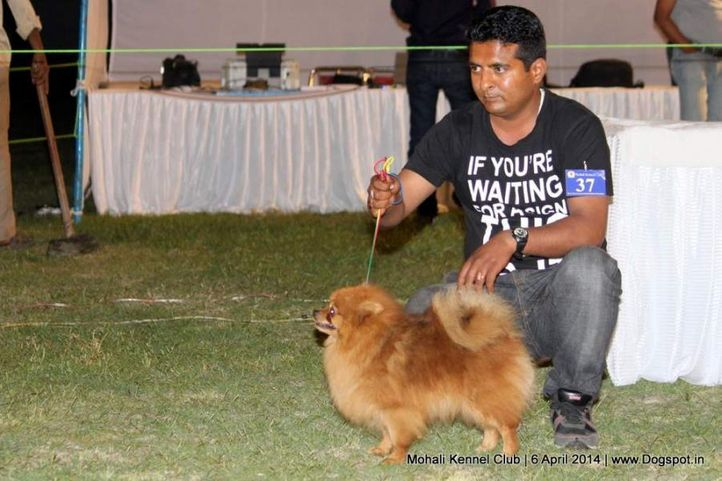 ex-37,indian spitz,sw-122,, SIMBA, Small Indian Spitz, DogSpot.in