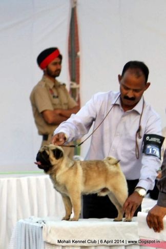 ex-178,pug,sw-122,, Mohali Kennel Club, DogSpot.in