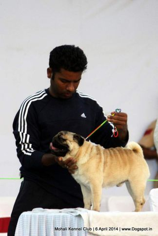 ex-11,pug,sw-122,, SHIV VED'S GENIOUS, Pug, DogSpot.in