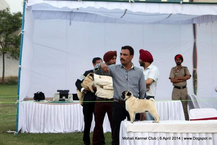 pug,sw-122,, Mohali Kennel Club, DogSpot.in
