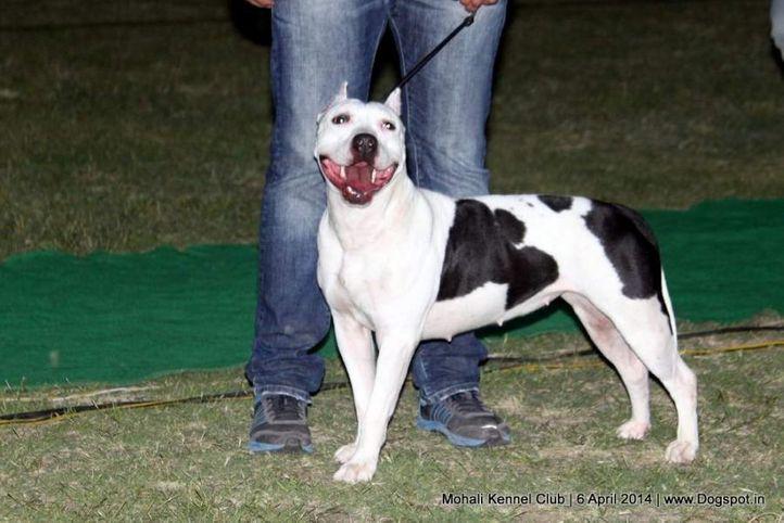 ex-26,staffordshire bull terrier,sw-122,, HASHMEET'S SMALI, Staffordshire Bull Terrier, DogSpot.in