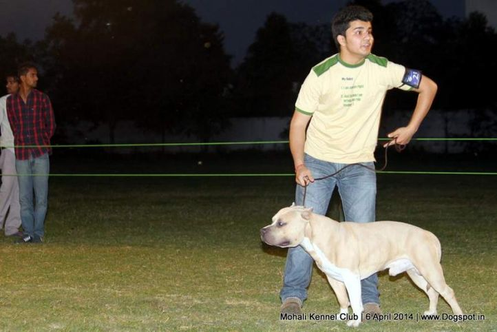 american staffordshire terrier,ex-23,sw-122,, Shadow, American Staffordshire Terrier, DogSpot.in