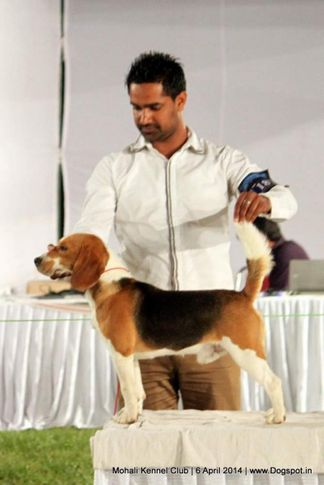 beagle,ex-187,sw-122,, Mohali Kennel Club, DogSpot.in