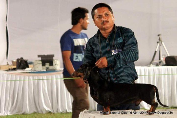 dachshund standard- smooth haired,ex-48,sw-122,, RAGVI'S BLACK MONEY, Dachshund Standard- Smooth Haired, DogSpot.in