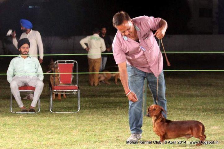 dachshund standard- smooth haired,ex-46,sw-122,, JHAKASS, Dachshund Standard- Smooth Haired, DogSpot.in