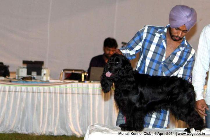 cocker spaniel- english,sw-122,, Mohali Kennel Club, DogSpot.in