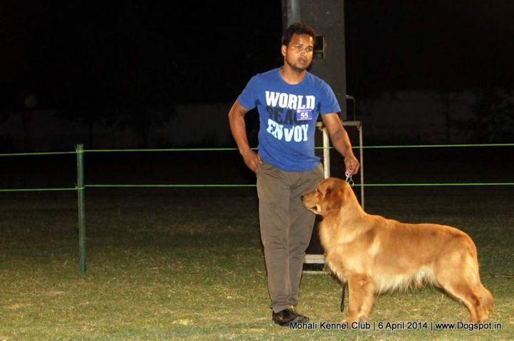 golden retriever,sw-122,, Mohali Kennel Club, DogSpot.in