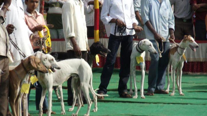 mudhol hound dog show, Mudhol Hound Dog Show, DogSpot.in