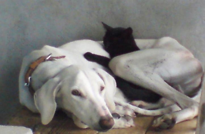 Mudhol Hound - Moti, Mudhol Hound - Moti, DogSpot.in