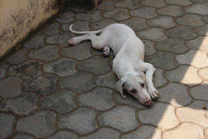 mudhol hound puppies, MUDHOL HOUND PUPPIES, DogSpot.in