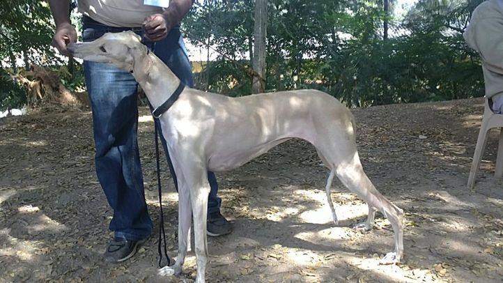 bangalore dog show photos, Mudhol Hound, DogSpot.in