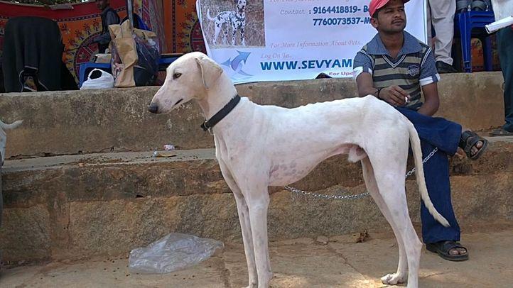 bangalore dog show photos, Mudhol Hounds, DogSpot.in