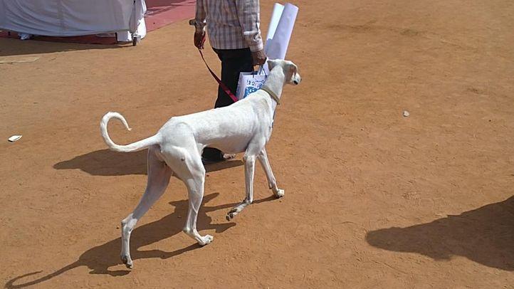 mudhol hounds, Mudhol Hounds, DogSpot.in