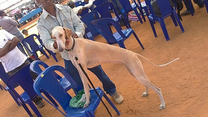 , Mudhol Hounds, DogSpot.in