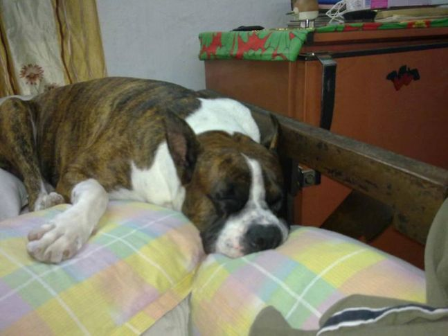 mxx the boxer, M@XX The BoXeR, DogSpot.in