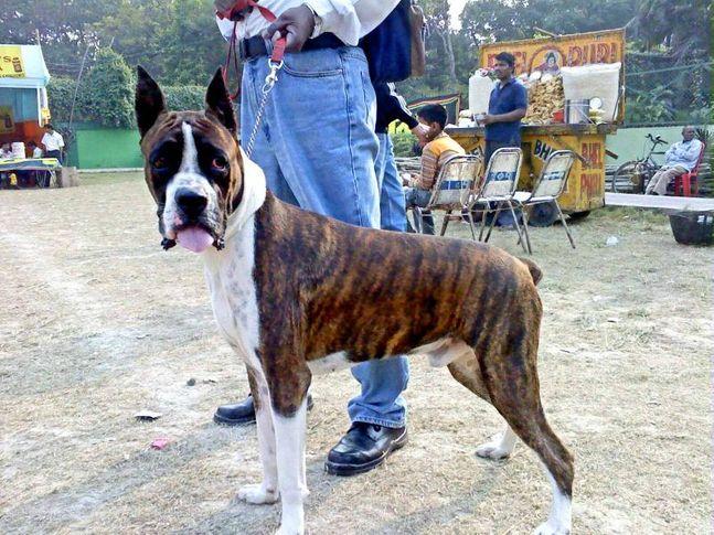 mxx the boxer, MaXX The BoXeR, DogSpot.in