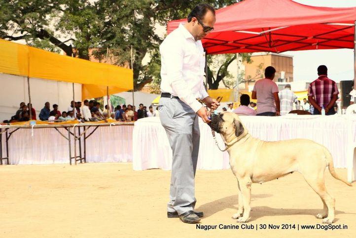 bull mastiff,sw-137,, Nagpur Canine Club, DogSpot.in