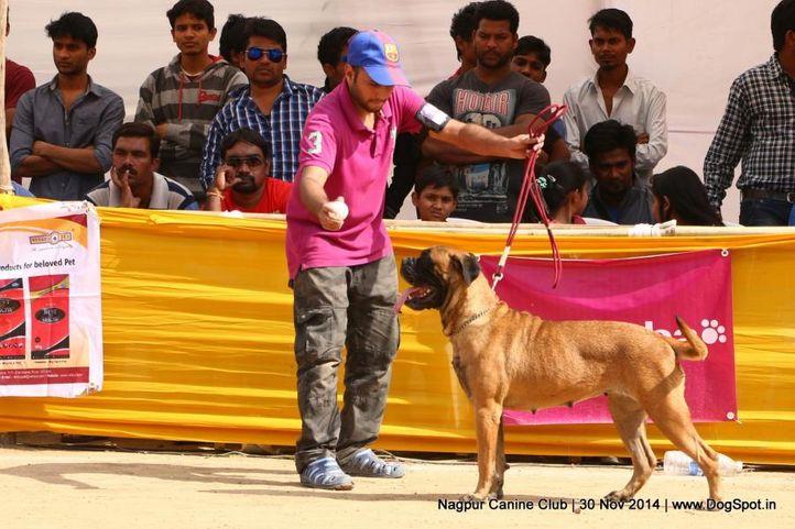 bull mastiff,ex-100,sw-137,, BEHIND BLUE SKIES, Bullmastiff, DogSpot.in
