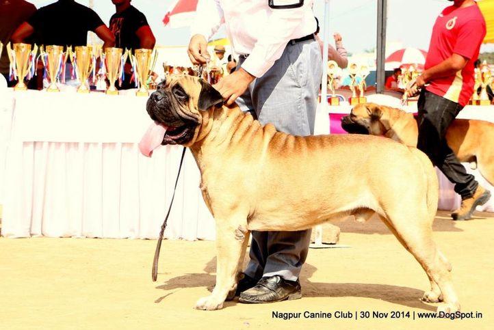 bull mastiff,ex-102,sw-137,, I BRAVI RAGAZZI JUST A GIGOLO, Bullmastiff, DogSpot.in