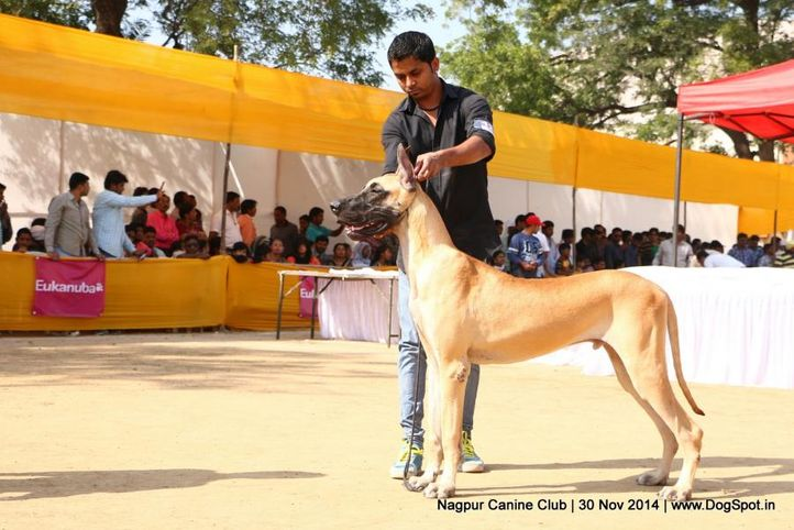 great dane,sw-137,, Nagpur Canine Club, DogSpot.in