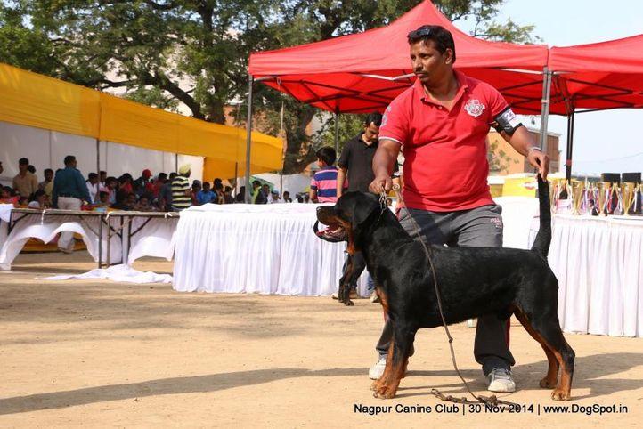 rottweiler,sw-137,, Nagpur Canine Club, DogSpot.in