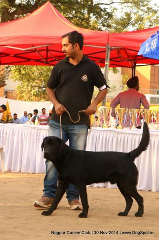 lab,labrador retriever,sw-137,, Nagpur Canine Club, DogSpot.in