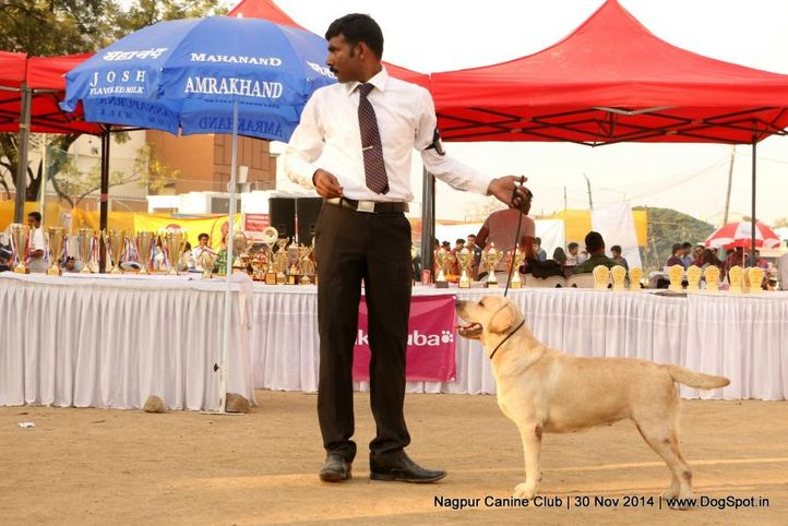 lab,labrador retriever,sw-137,, Nagpur Canine Club, DogSpot.in