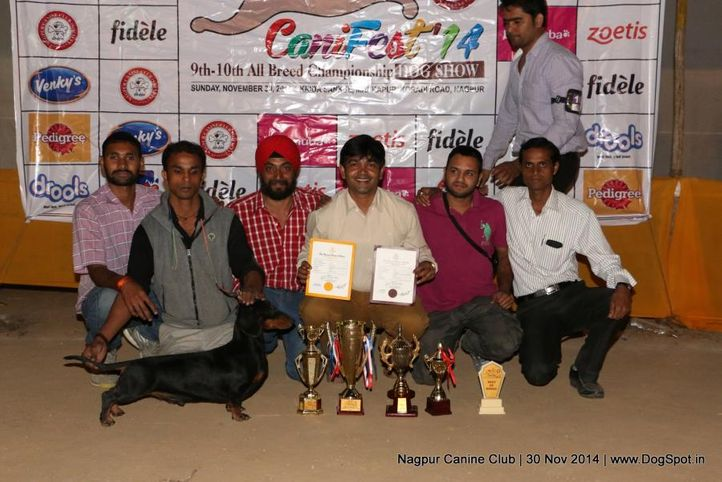 dachshund standard smooth haired,sw-137,, Nagpur Canine Club, DogSpot.in