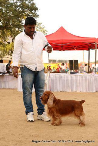 cocker spaniel- english,sw-137,, Nagpur Canine Club, DogSpot.in