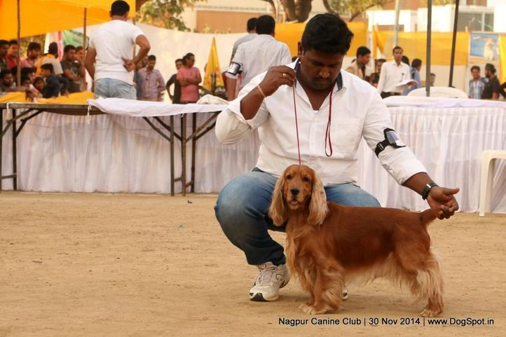 cocker spaniel- english,sw-137,, Nagpur Canine Club, DogSpot.in