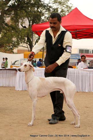 caravan hound,sw-137,, Nagpur Canine Club, DogSpot.in