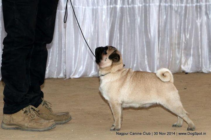 ex-9,pug,sw-137,, A CUBE'S DARK NIGHT, Pug, DogSpot.in
