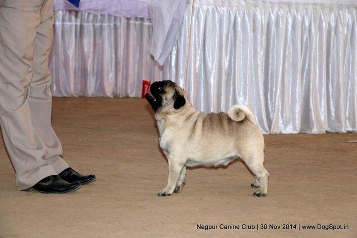 ex-6,pug,sw-137,, BOBBYBLAZE'S GAMBLER, Pug, DogSpot.in