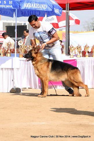 ex-180,german shepherd dog,gsd,sw-137,, ATENSBERG TIMO, German Shepherd Dog, DogSpot.in