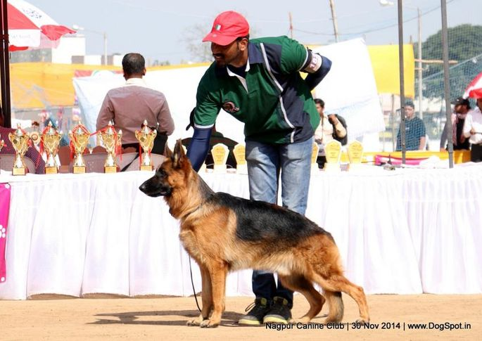 ex-182,german shepherd dog,gsd,sw-137,,  BLITZHAUS PALLIBERG'S EURO, German Shepherd Dog, DogSpot.in