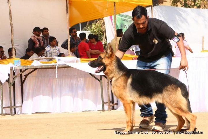 german shepherd dog,gsd,sw-137,, Nagpur Canine Club, DogSpot.in
