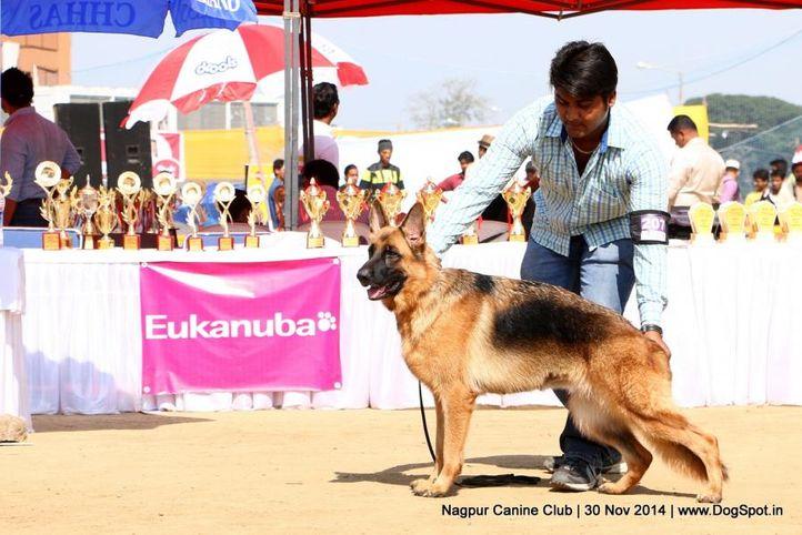 ex-207,german shepherd dog,gsd,sw-137,, SILEDAR'S OUT STANDING PERFORMANCE, German Shepherd Dog, DogSpot.in