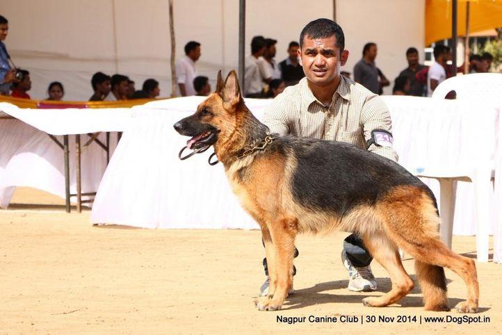 ex-210,german shepherd dog,gsd,sw-137,, SHINDE'S BLAKY, German Shepherd Dog, DogSpot.in