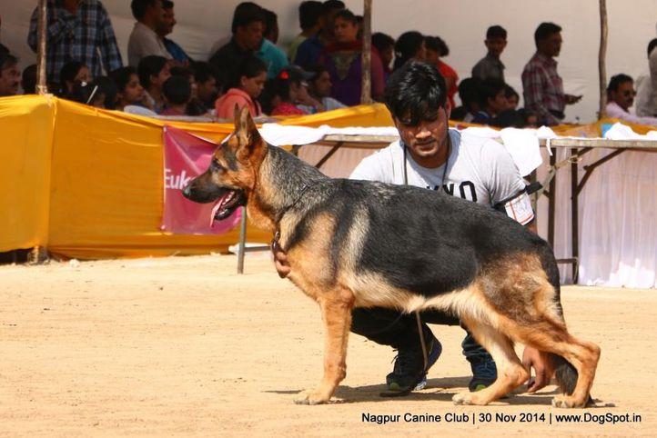 ex-229,german shepherd dog,gsd,sw-137,, FAYA, German Shepherd Dog, DogSpot.in