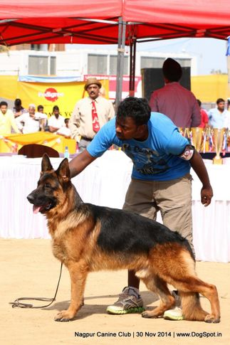 ex-179,german shepherd dog,gsd,sw-137,, NALKEN'S THE GAGO MIGHTY, German Shepherd Dog, DogSpot.in