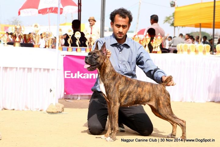 boxer,sw-137,, Nagpur Canine Club, DogSpot.in