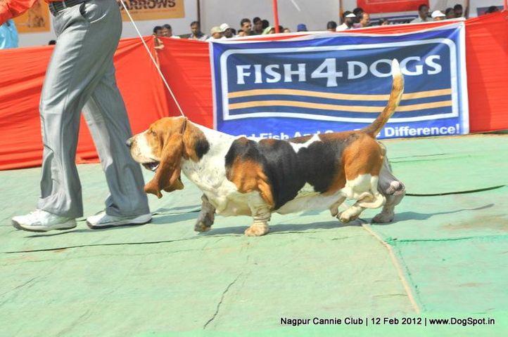 basset hound,, Nagpur Dog Show, DogSpot.in