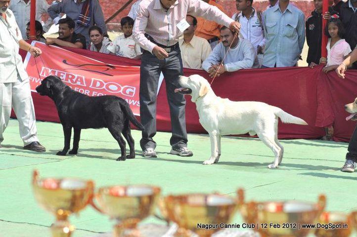 lab,, Nagpur Dog Show, DogSpot.in