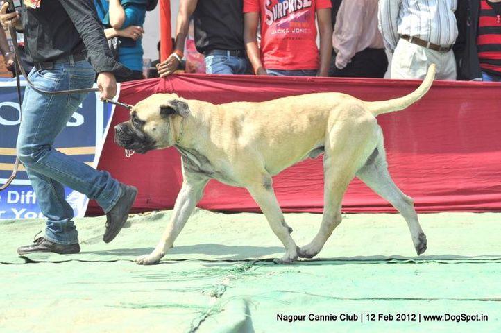 bull mastiff,, Nagpur Dog Show, DogSpot.in